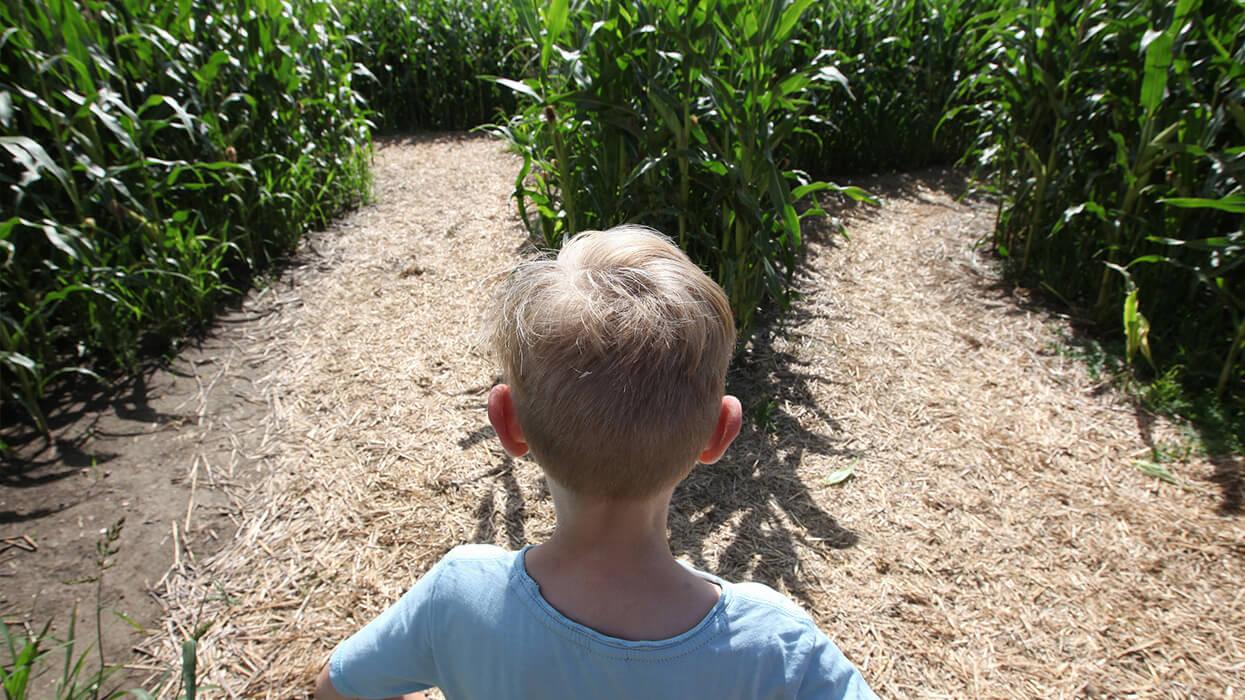 Wegverzweigung im Maislabyrinth