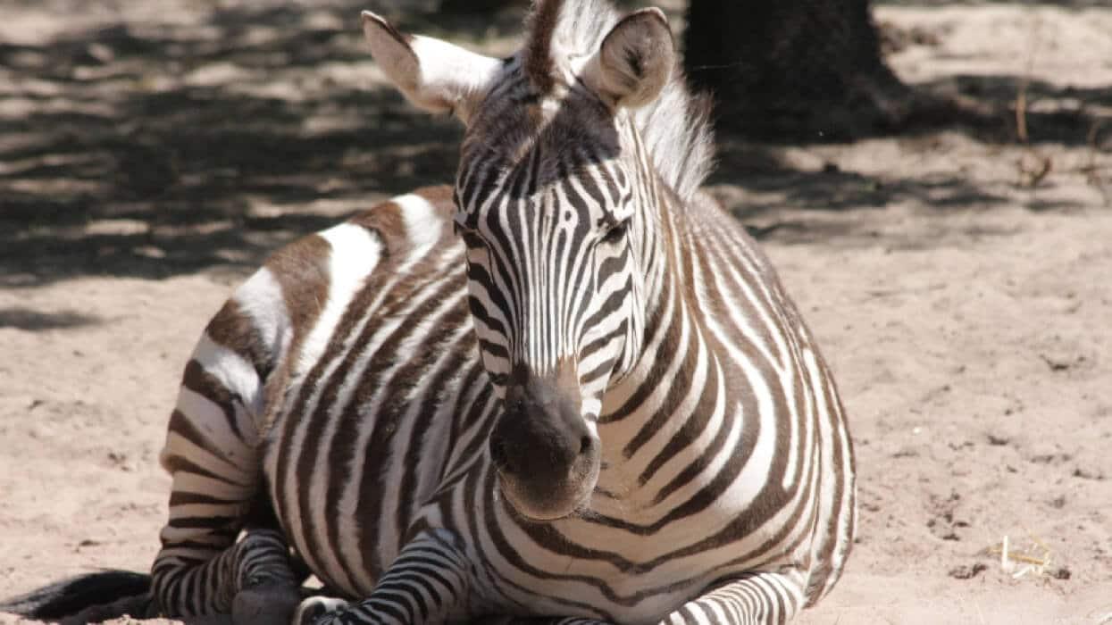 Hallo Zebra