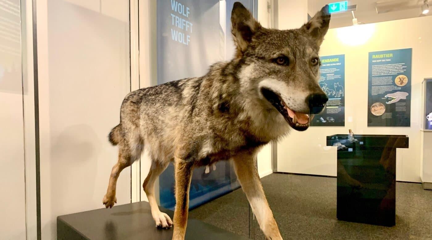 Werde Wolfsexperte